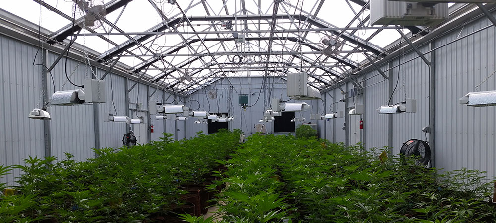 Harness natural sunlight - the best energy source for cannabis plants